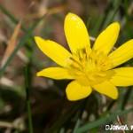 Ficaire fausse renoncule - fleurs du printemps