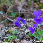 Violettes des bois - fleurs du printemps