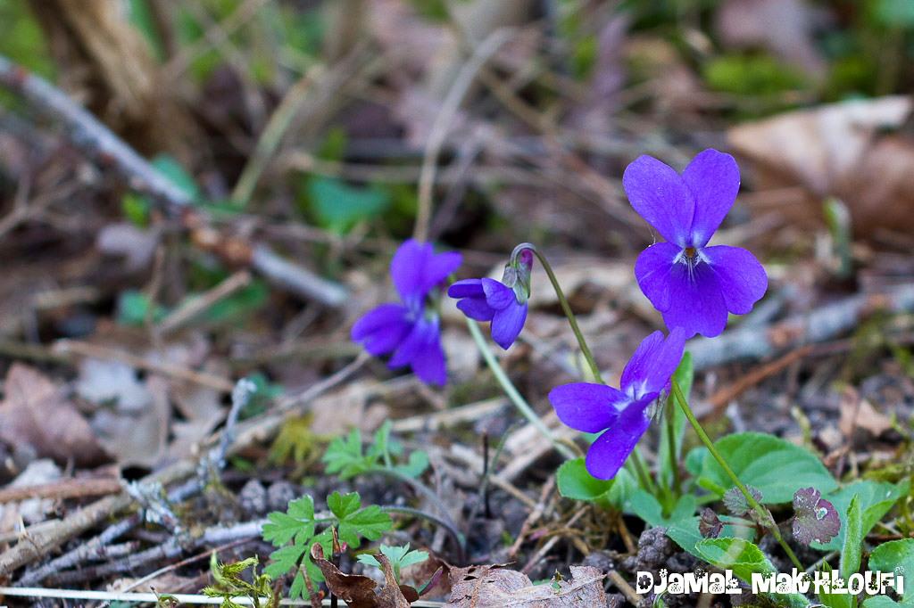 Fleurs du printemps flore sauvage de la for t de for Semer du gazon au printemps