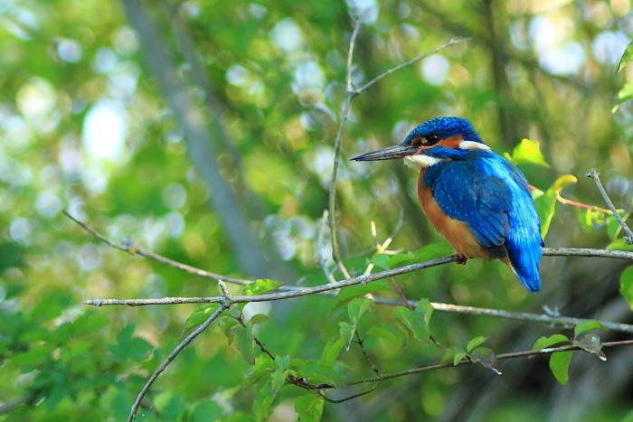 Martin pêcheur - Oiseau de la forêt de Fontainebleau