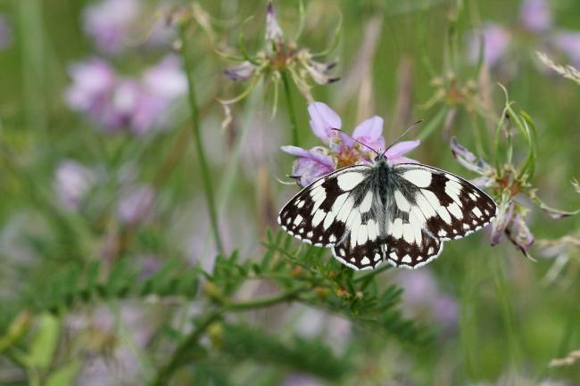 Demi-deuil - Papillon de la forêt de Fontainebleau