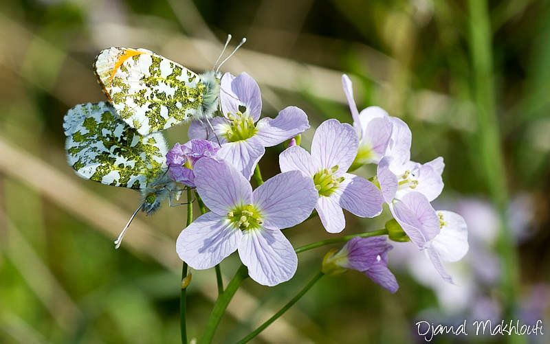 accouplement papillons aurore (Anthocharis cardamines)