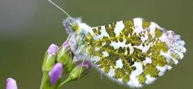 Papillon Aurore mâle - Papillon de la forêt de Fontainebleau