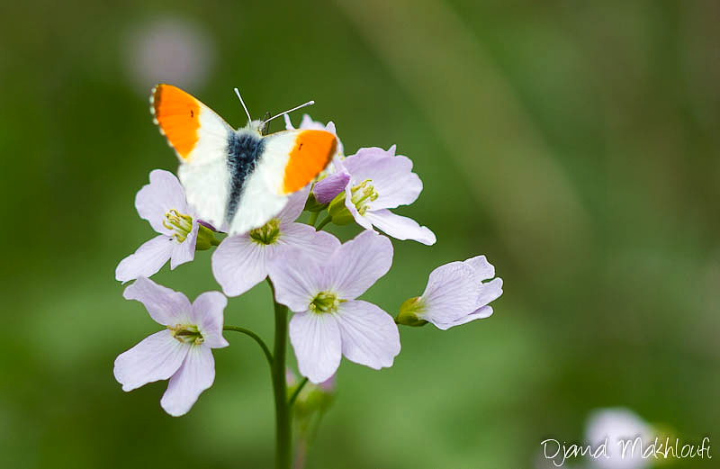 Papillon Aurore Anthocharis Cardamines Messager Du Printemps