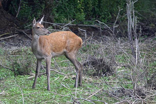 Biche - Mammifère de la forêt de Fontainebleau
