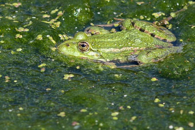 Grenouille verte - Amphibien de la forêt de Fontainebleau