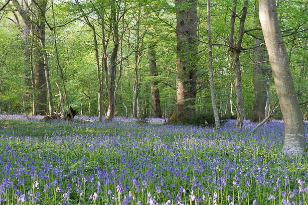 Jacinthes des bois - Promenade en forêt de Fontainebleau (Où se promener en forêt de Fontainebleau ?)