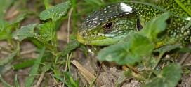 Lézard vert de la forêt de Fontainebleau