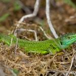 Lézard vert mâle