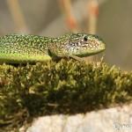 Lézard vert - Reptiles de la forêt de Fontainebleau