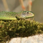 Lézard vert femelle - Lacerta bilineata