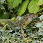 Lézard vert ( Lacerta bilineata) - Reptiles de la forêt de Fontainebleau