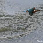 Martin-pêcheur à la sortie de l'eau