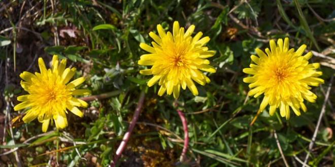 Pissenlits - fleurs du printemps
