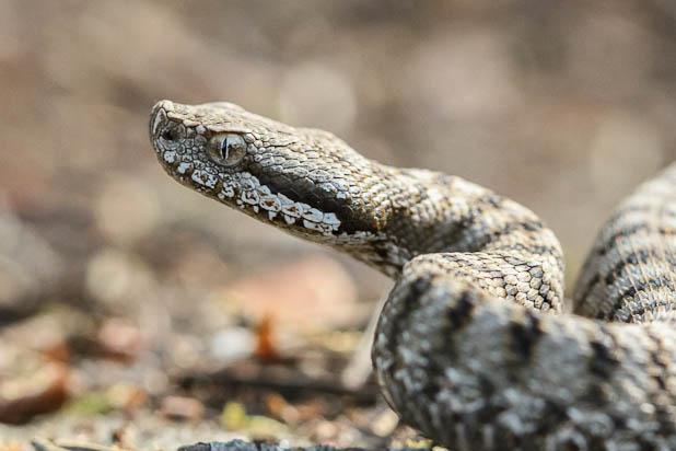 vipère aspic - Reptile de la forêt de Fontainebleau