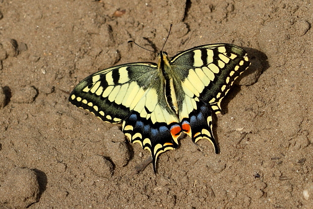 Machaon papillon porte-queue