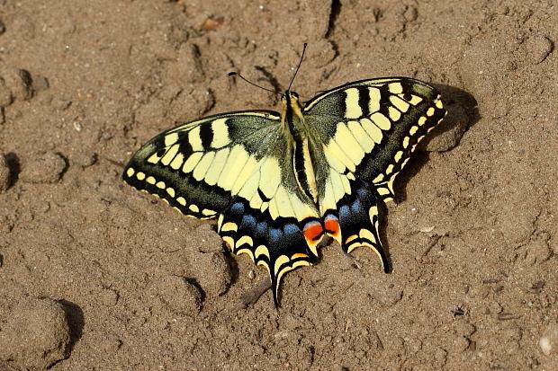 Machaon papillon porte-queue (Papilio machaon)