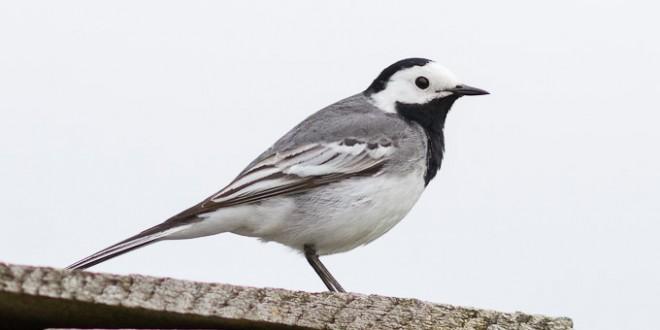 Bergeronette grise - quels oiseaux voir en mai ?