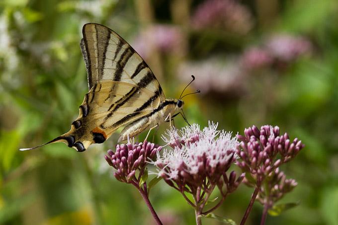 Le flambé butinant (Iphiclides podalirius) - papillon porte-queue