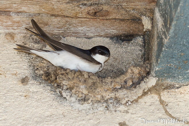 Hirondelle de fenêtre en train d'inspecter son nid