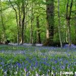 paysage avec jacinthes des bois - Clochettes des bois