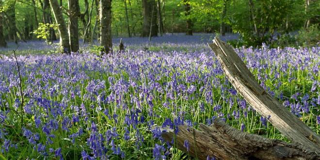 Floraison des Jacinthes des bois - Hyacinthoides non-scripta