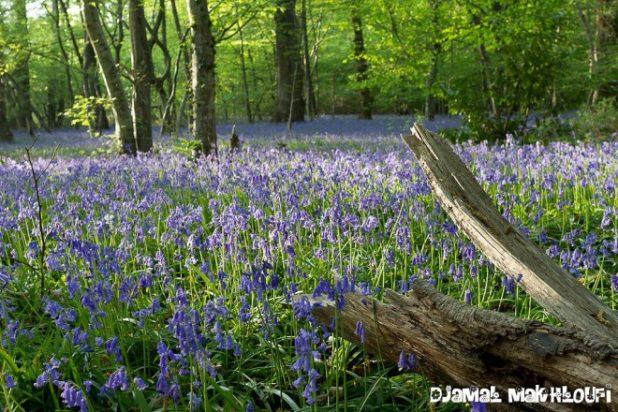 Jacinthe des bois - Floraison clochettes violettes