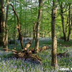 Sous bois avec jacinthes des bois