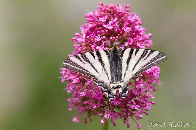 Le Flambé - Papillon porte-queue (Iphiclides podalirius)
