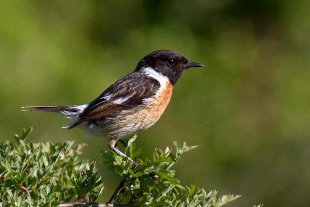 Tarier pâtre - quels oiseaux voir en mai en forêt de Fontainebleau ?