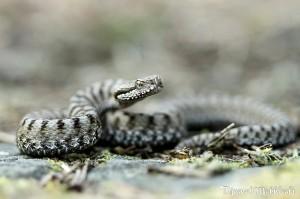 Vipère Aspic - Serpent de la forêt de Fontainebleau