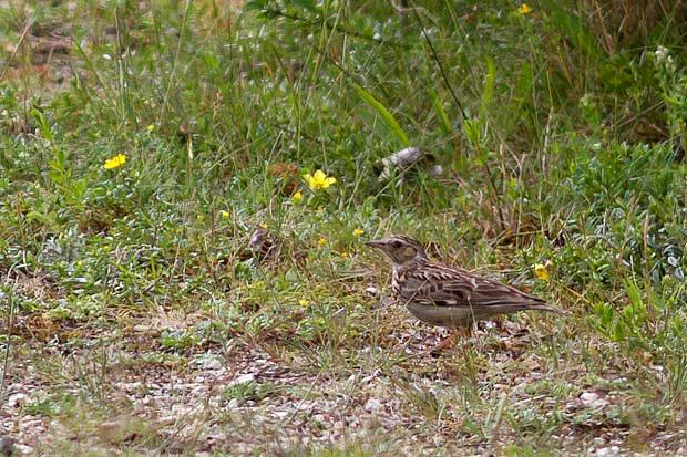 Alouette lulu - Oiseau de la forêt de Fontainebleau