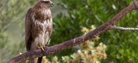 Buse variable (Buteo buteo) - Rapace de la forêt de Fontainebleau