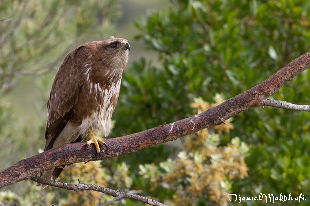 Buse variable (Buteo buteo) - Oiseau de proie de France