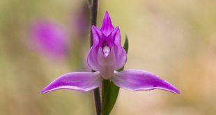 Céphalantere rouge - Orchidée de la forêt de Fontainebleau