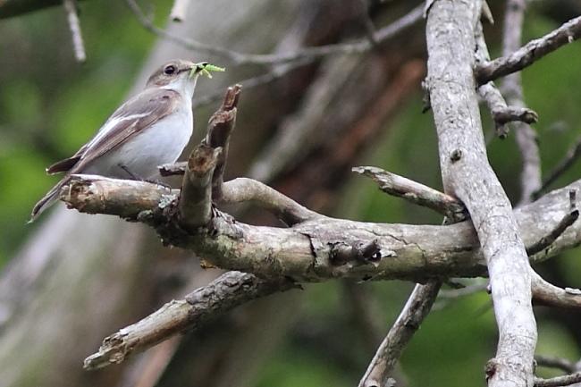 Gobemouche noir femelle - Oiseau de la forêt de Fontainebleau