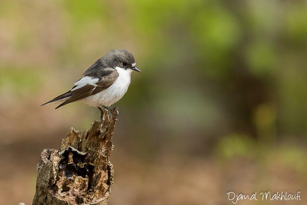 Gobemouche (Gobe-mouche) noir mâle - Oiseau blanc et noir de la forêt de Fontainebleau