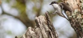 Gobemouche noir - Oiseau de la forêt de Fontainebleau