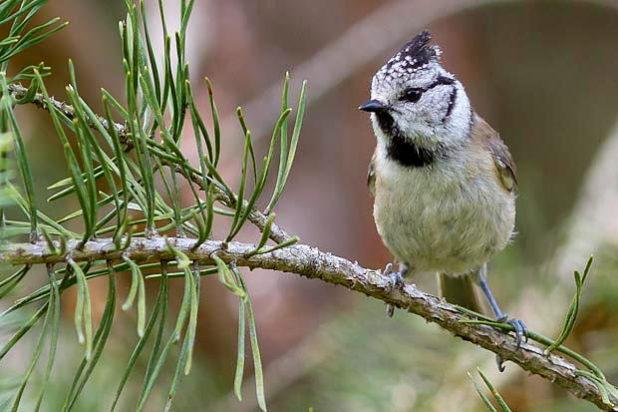 Mésange huppée - Oiseau de la forêt de Fontainebleau