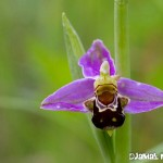 Ophrys abeille - Orchidée sauvage