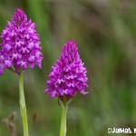 Orchis pyramidal - Orchidée sauvage de la forêt de Fontainebleau