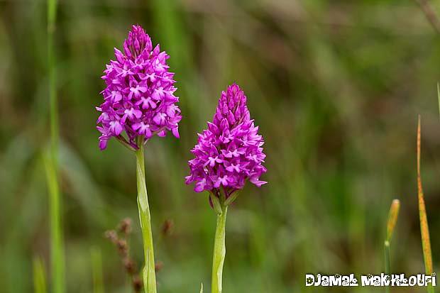 Orchis pyramidales - Fleur de la forêt de Fontainebleau
