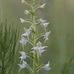 Orchis verdâtre - Orchidée sauvage