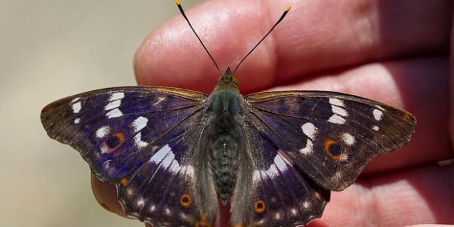 Petit Mars changeant - Papillon de la forêt de Fontainebleau