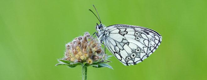 Demi-deuil mâle (Melanargia galathea)