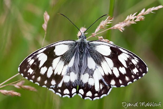 Demi-deuil mâle (Melanargia galathea) - Photo