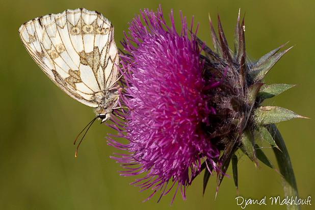 Demi-deuil femelle (Melanargia galathea) - Photo
