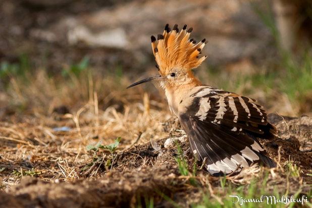 huppe fasciee aile dépliée - oiseau de la forêt de Fontainebleau