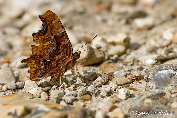 Papillon Robert le Diable (Polygonia c-album) - Photo