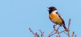 Tarier patre - Chants d'oiseaux